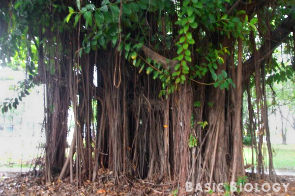 Adventitious roots of a banyan tree