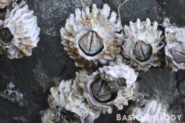 Barnacle crustaceans
