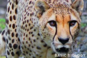 Cheetah   Carnivora