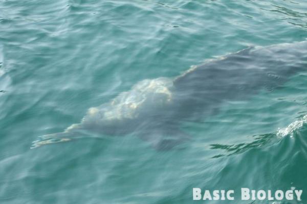 Humpback dolphin   Marine Mammals