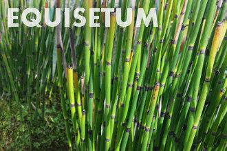 Equisetum