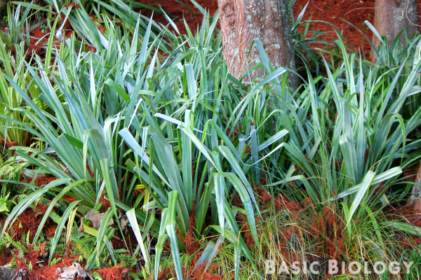 Astelia flax bush