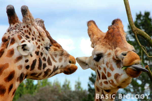 Giraffes - the tallest of all ungulates