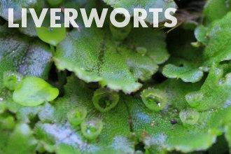 Liverworts - Non-vascular plants
