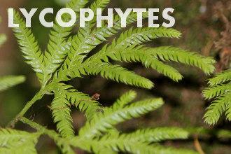 Lycophytes