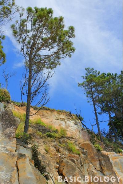 Pine tree stem
