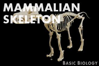 Mammalian skeleton