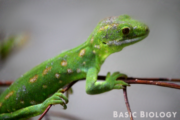 A reptile species known as a green tree gecko