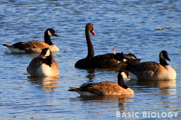 Canadian geese and black swan