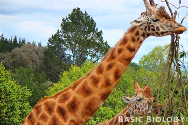 Long neck of giraffes - Evolution