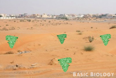 Green moths on orange sand - poor camoflage