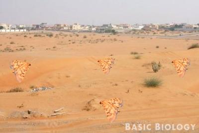 Orange moths on orange sand - well camoflaged